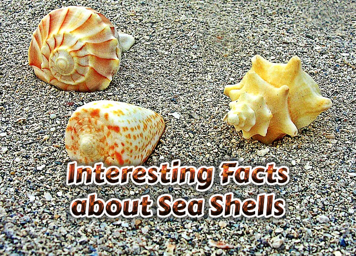 Photo of Interesting Facts about Sea Shells