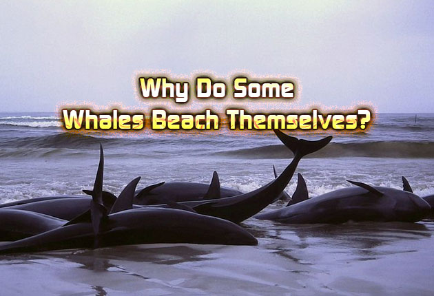 Why Do Some Whales Beach Themselves?
